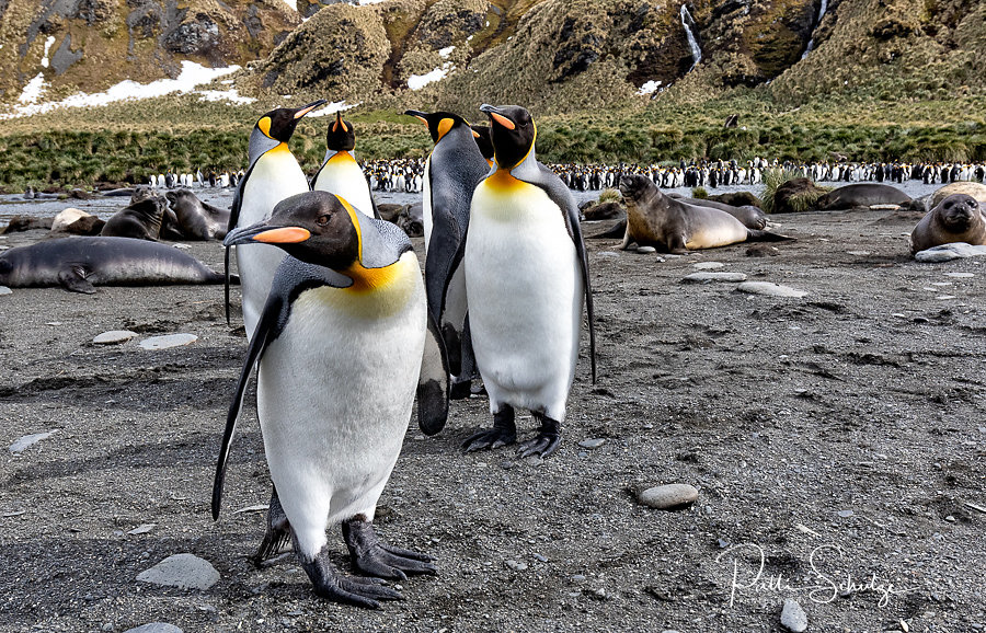King Penguins - Gold Harbour