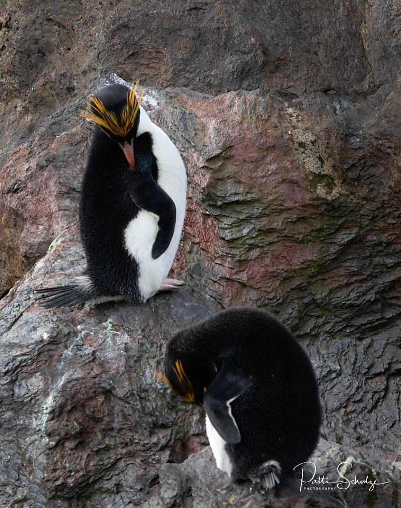 Macaroni Penguins