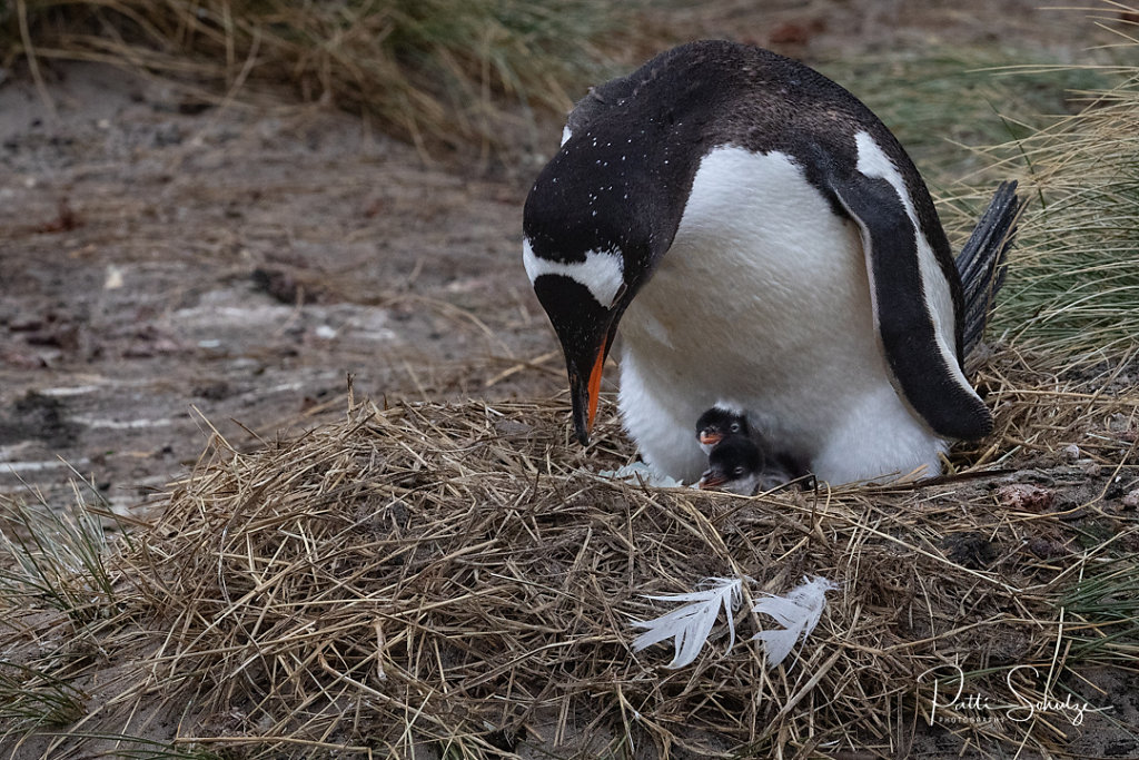 Gentoo and Young IV